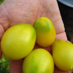 Tomato 'Fargo Yellow Pear'